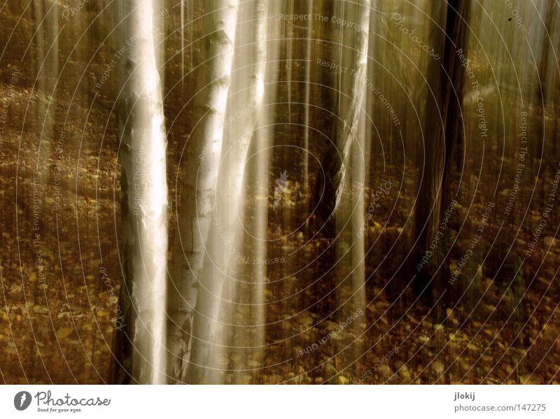 Birken Herbst Wald Baum Langzeitbelichtung Blatt Wachstum Pflanze Holz weiß braun matt Berge u. Gebirge Hügel Schliere Verhext Märchenwald Jahreszeiten