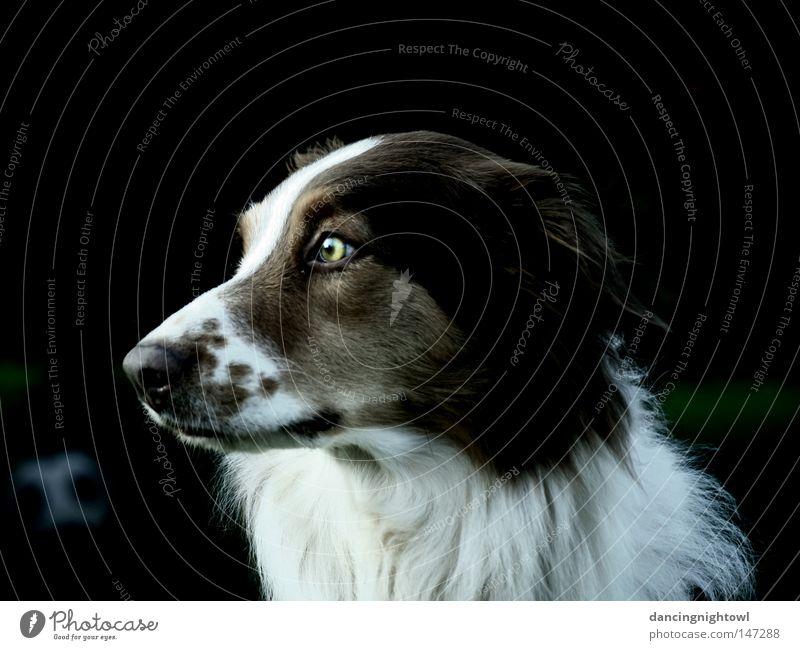great girl. Hund Tier Haustier Fell Auge Blick mehrfarbig Schnauze Säugetier Australian Shepherd