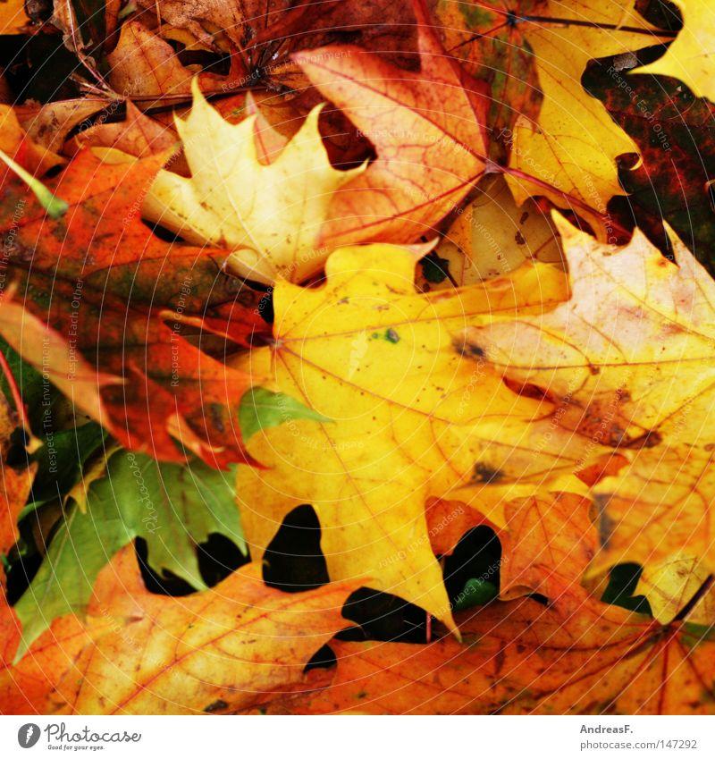 Goldener Herbst Blatt Herbstlaub mehrfarbig Oktober November September Farbe gelb orange Herbstfärbung Ahorn Ahornblatt Baum Strukturen & Formen Ordnung
