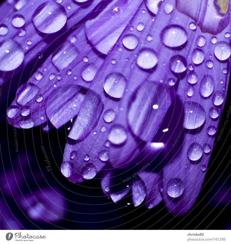 Tautropfen auf Aster Blume Blüte Blütenblatt violett Wassertropfen Tropfen Regen hängen liegen schön ruhig Balkon Feng Shui Spannung verteilen verteilt