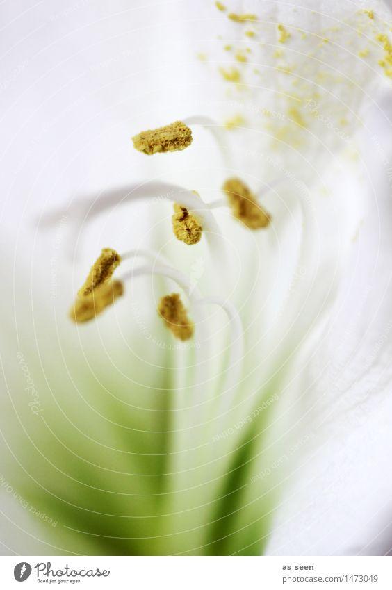 Weiße Amaryllis Lifestyle elegant Stil harmonisch Muttertag Hochzeit Natur Pflanze Blume Blüte Topfpflanze exotisch Amaryllisgewächse Staubfäden Pollen