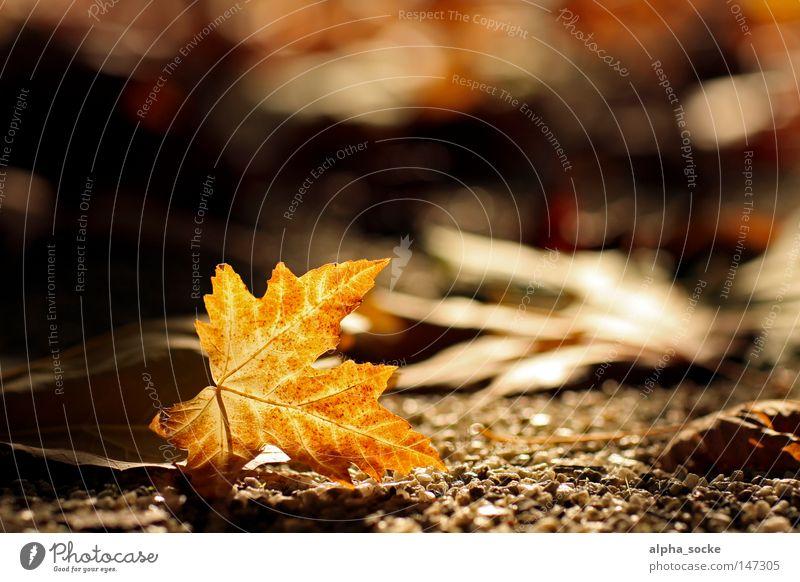 Goldener Oktober II Baum Blatt Herbst braun gold Jahreszeiten