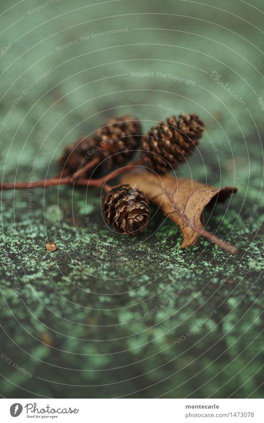 ..das wird schon wieder Umwelt Natur Pflanze Blatt Grünpflanze Tannenzweig Tannenzapfen alt dünn authentisch kalt klein nah natürlich rund trist trocken braun