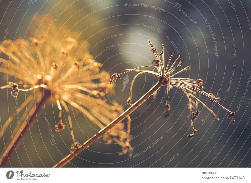 Sonnen hungrig elegant Stil Design Umwelt Natur Winter Schönes Wetter Dürre Pflanze Sträucher Wildpflanze Zweige u. Äste Feld Lichteinfall Lichtblick