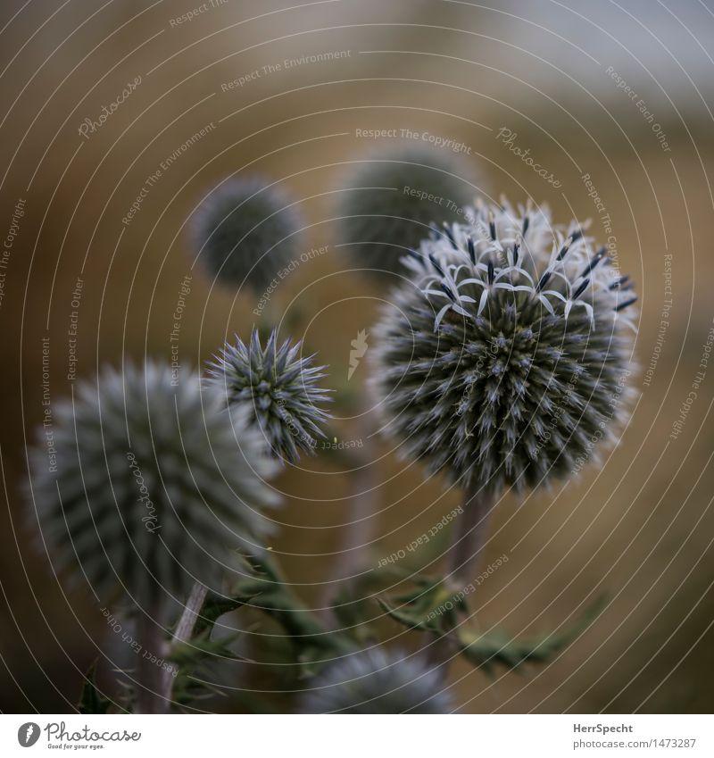 Planetensystem Natur Pflanze Blüte Wildpflanze Garten Park ästhetisch rund schön Distel Distelblüte Farbfoto Gedeckte Farben Außenaufnahme Nahaufnahme