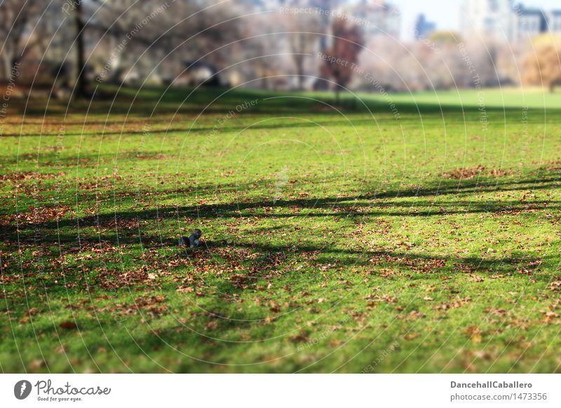 allein im Park Natur Stadt Blatt Tier Umwelt Herbst Wiese Gras klein sitzen Eichhörnchen Nagetiere Manhattan New York City Central Park