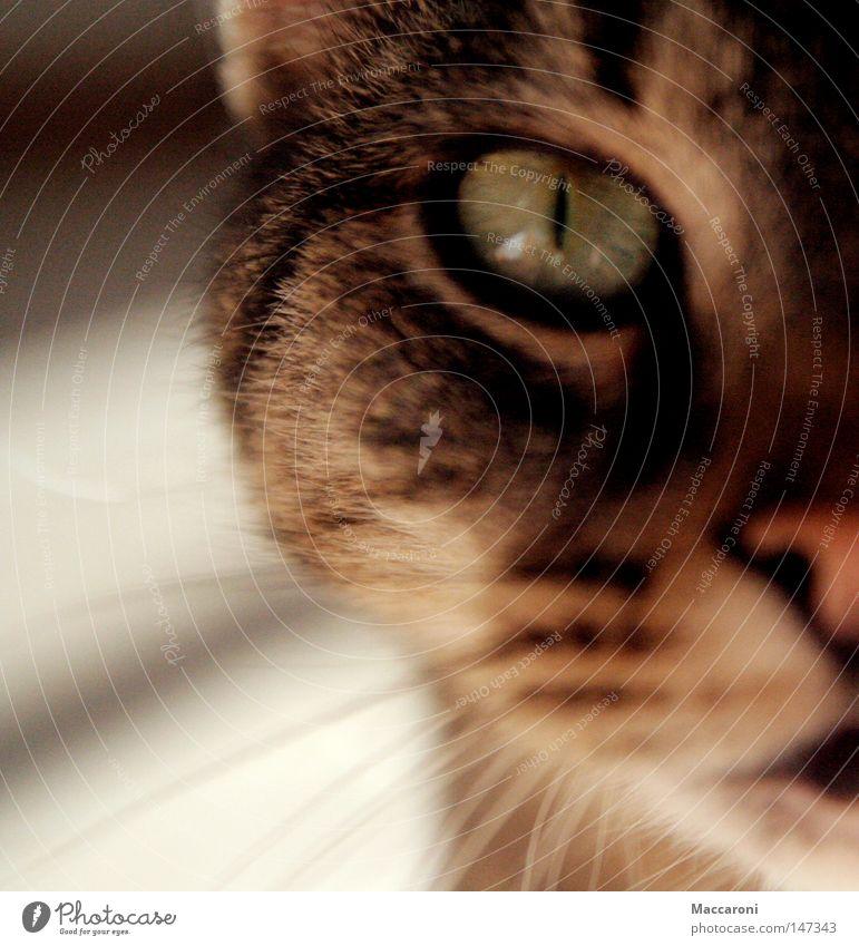 Mieze Katze Jagd Wohnzimmer Auge Ohr Nase Mund Wärme Fell Haustier füttern genießen hocken frei klein nah rebellisch grün Sympathie Zusammensein Tierliebe