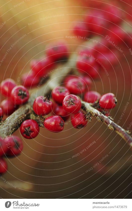 vogelfutter Natur Pflanze rot Winter Umwelt Herbst natürlich klein wild frisch Sträucher einfach weich rund trocken nah