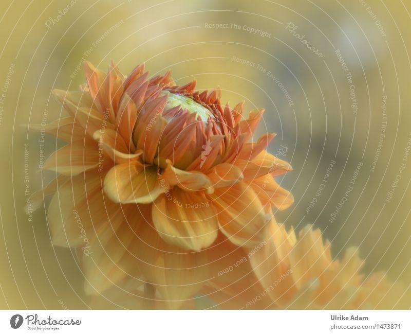 Orange Dahlie Natur Pflanze Sommer Herbst Schönes Wetter Blume Blüte Garten Park Bauerngarten Blühend wandern Duft schön Wärme orange Inspiration Blütenblatt