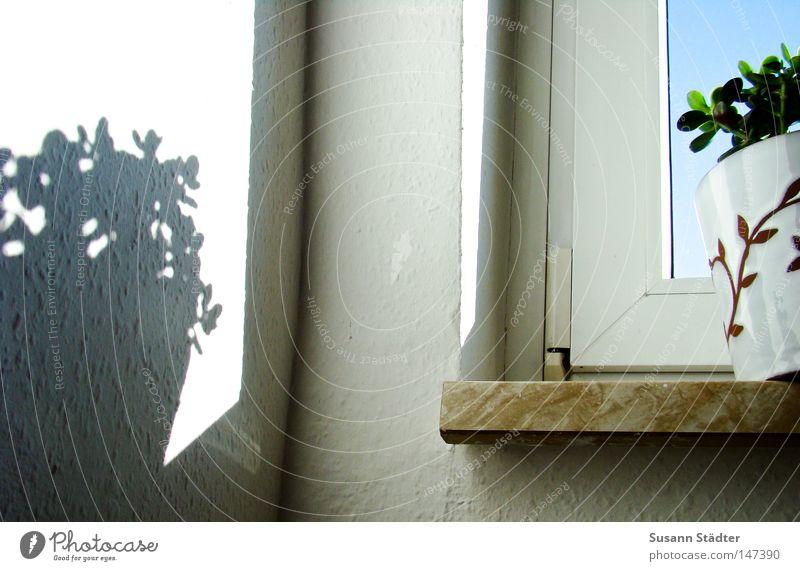 Schattengewächs Pflanze Wand Fenster Luft Erde Topf Blumentopf Fensterbrett Zimmerpflanze Raufasertapete Affenbrotbaum