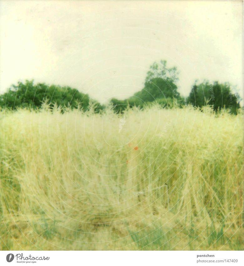 Ein Getreidefeld vor Bäumen. Wilde Natur. Landwirtschaft Polaroid Tag Licht Duft Sommer Pflanze Tier Himmel Herbst Wärme Baum Blume Gras Sträucher Wiese Feld