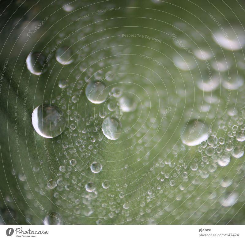 Perlenfänger Pflanze grün Blatt Wiese Gras Regen Wassertropfen nass Seil rund zart feucht Blattadern Karlsruhe 2008
