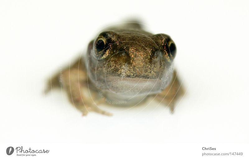 Klein und allein: Grasfrosch (Rana temporaria) Auge Frosch Froschlurche Lurch Tier hüpfen springen Wasser Wiese weiß hell Feld Moorfrosch Unke Ekel Sommer Teich