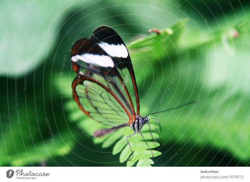 kleine schönheit Natur Pflanze Tier Farn Blatt Garten Park Wiese Wildtier Schmetterling Tiergesicht Flügel Fühler Beine glasflügelfalter 1 beobachten Erholung