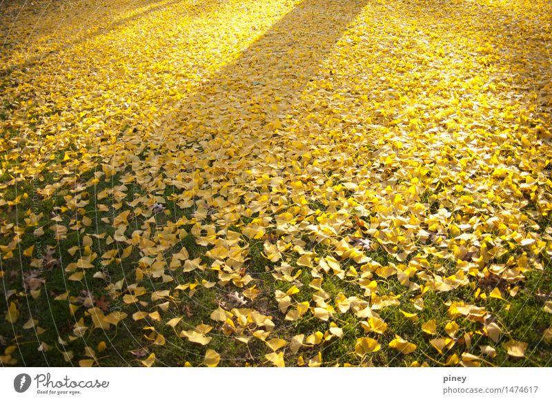 Ginkgo-Farbverlauf Umwelt Natur Pflanze Herbst Baum Blatt Park einfach Unendlichkeit natürlich schön gelb gold grün Farbfoto mehrfarbig Außenaufnahme