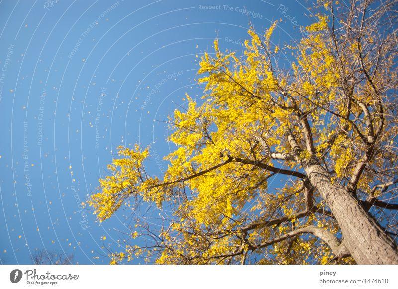 Ginkgo groß Umwelt Natur Pflanze Luft Himmel Wolkenloser Himmel Herbst Schönes Wetter Baum Blatt Park ästhetisch Ferne Unendlichkeit hoch schön blau gelb gold