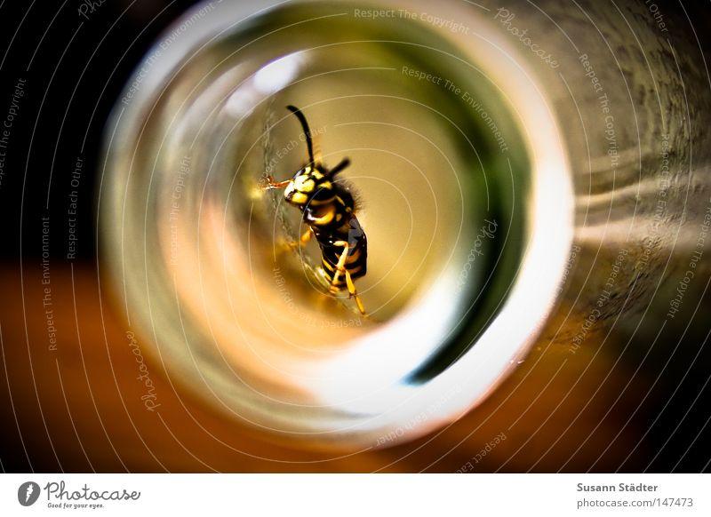 Expedition im Pfirsichnektar Wespen Saft Glasbehälter Staubfäden dumm lecker süß tollpatschig Sommer Plage gelb schwarz Nektar