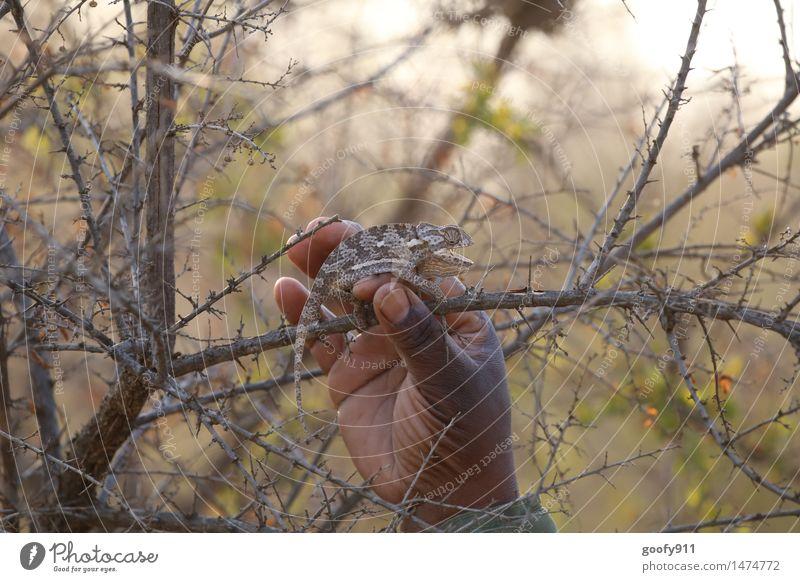 Camelion 4 Hand Umwelt Natur Landschaft Sommer Schönes Wetter Sträucher Wildpflanze Wüste Tier Wildtier Tiergesicht 1 beobachten berühren hängen liegen tragen