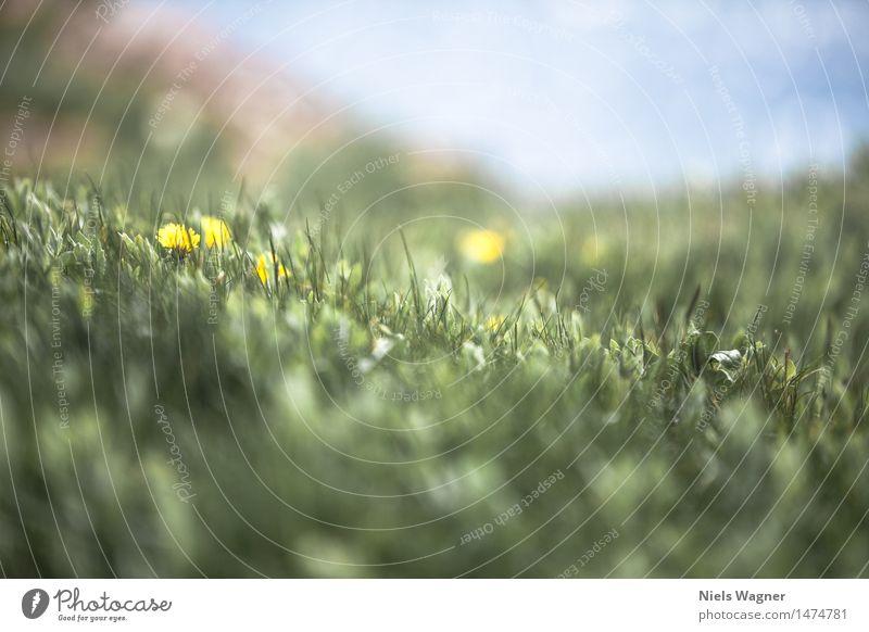 Löwenzahn Umwelt Natur Landschaft Pflanze Tier Frühling Schönes Wetter Blume Gras Blüte Grünpflanze Wiese Hügel Küste Seeufer Nordsee Ferien & Urlaub & Reisen