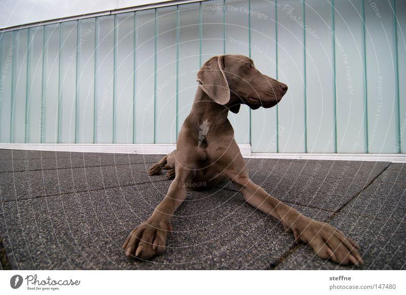 dove Hund Kontrolle Alarm Wachsamkeit Säugetier es ist samstag da will man doch ein knuddelfoto wauwi wauzi hundchen dog hier wache ich