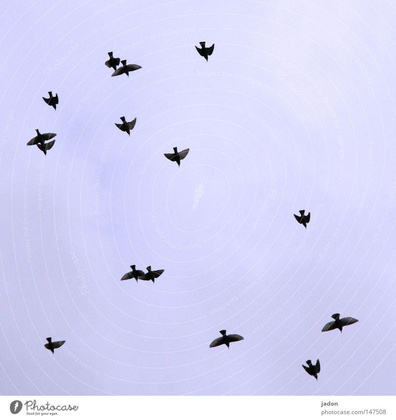 3 Paare, 9 Singles Vogel Himmel fliegen Formation blau Luftverkehr Geschwindigkeit Silhouette Krieg Vogelschwarm Brandenburg vogelwelt Profil