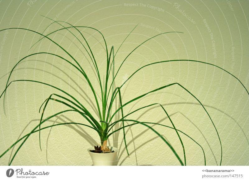 Spinnenbeinbüropflanze Gras Pflanze Sträucher Halm grün Vase Zimmerpflanze weiß Dekoration & Verzierung Immergrüne Pflanzen Schatten Erde Spinnenpflanze clean