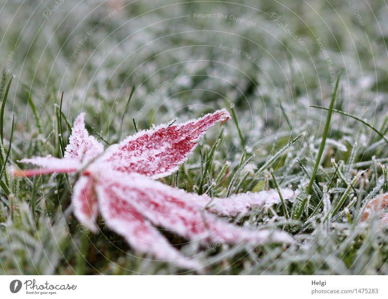 gefroren... Umwelt Natur Pflanze Winter Eis Frost Gras Blatt Ahornblatt Garten frieren liegen außergewöhnlich kalt natürlich grün rot weiß ruhig einzigartig