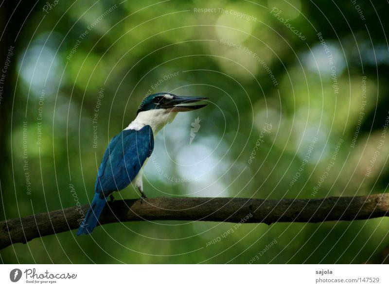 schreihals blau weiß Baum Tier schwarz sprechen Vogel sitzen beobachten Kommunizieren Hinterteil Asien schreien Urwald Kontrolle Schnabel