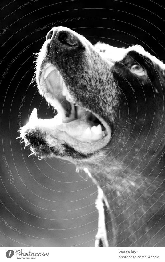 Good Boy weiß schwarz Tier Hund braun warten gefährlich Gebiss Freundlichkeit Konzentration Säugetier Erwartung Kindererziehung Treue Maul beste