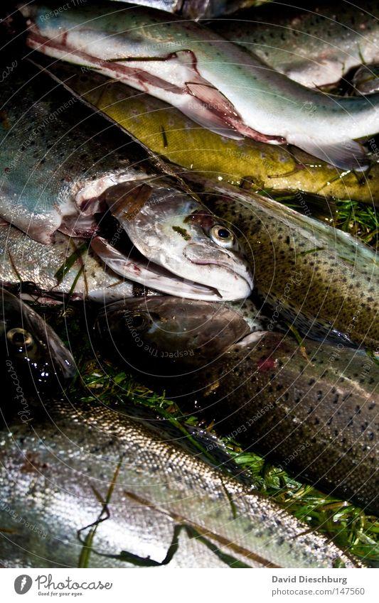 Tod durch Angler Fisch Glätte Auge Eiklar Forelle Fischer Proviant Markt Ernährung Lebensmittel Fischfutter Fischkopf Fischerboot frisch Futter Meer liegen