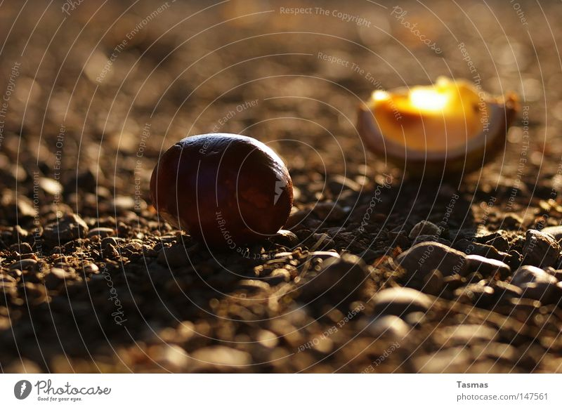 Wurfgeschoss Herbst Frucht Schalen & Schüsseln Kastanienbaum Maronen ausrutschen Hülse Munition runtergefallen Buchengewächs Rosskastanie