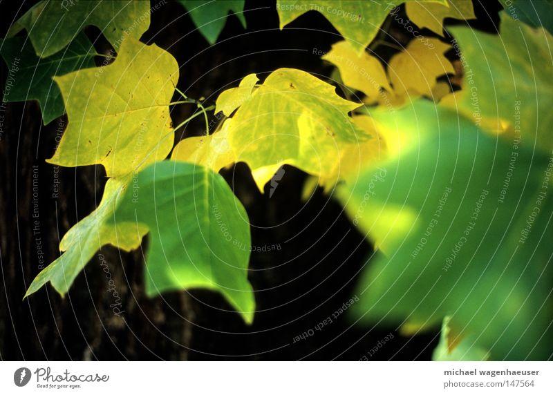 Herbstblätter #1 Natur Baum grün Blatt gelb Baumstamm Geäst Zweige u. Äste herbstlich