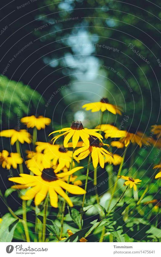 Endspurt. Umwelt Natur Pflanze Sommer Schönes Wetter Blume Blüte Sonnenhut Garten Blühend gelb grün Farbfoto Außenaufnahme Menschenleer Tag