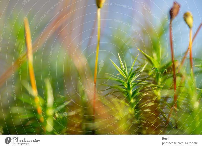 Moosdickicht Umwelt Natur Pflanze Erde Schönes Wetter Grünpflanze Boden Waldboden hell grün Frauenhaarmoos Unschärfe Sporenpflanze Farbfoto Gedeckte Farben