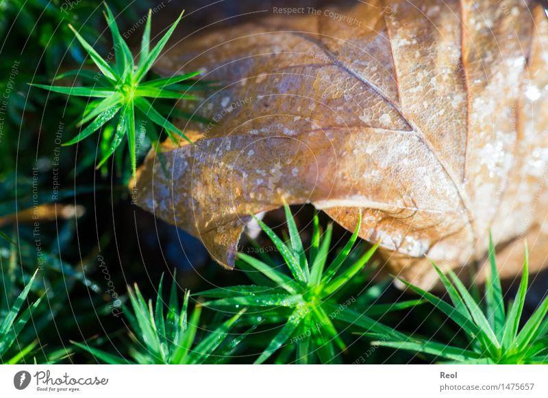 Blatt im Moos Natur Pflanze grün Sommer Sonne Baum Wald Umwelt klein braun hell Erde Schönes Wetter stachelig