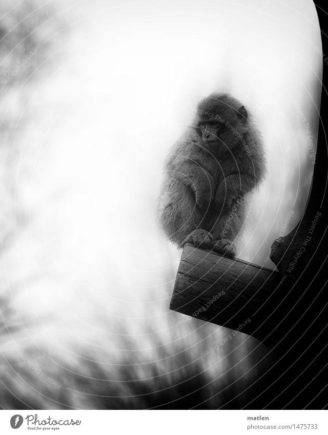 shit weather Baum Tier Winter dunkel kalt Nebel stehen Fell Tiergesicht frieren Pfote schlechtes Wetter Berberaffen