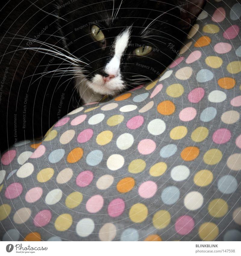cat dot Katze Halbschlaf Hauskatze Kissen schwarzhaarig Schnurren Katzenauge Auge gelb Schlitz Stubsnase Haustier Fleck Punkt mehrfarbig kuschlig gemütlich