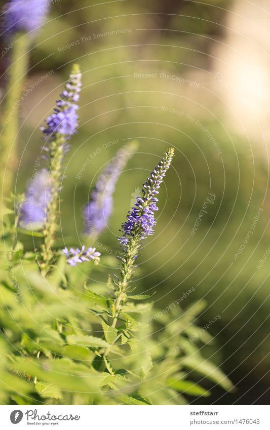 Lila Lavendel Lavandin Blume Umwelt Natur Pflanze Gras Blüte Grünpflanze Wildpflanze Garten Wiese Feld frei Glück schön grün violett Farbfoto Außenaufnahme