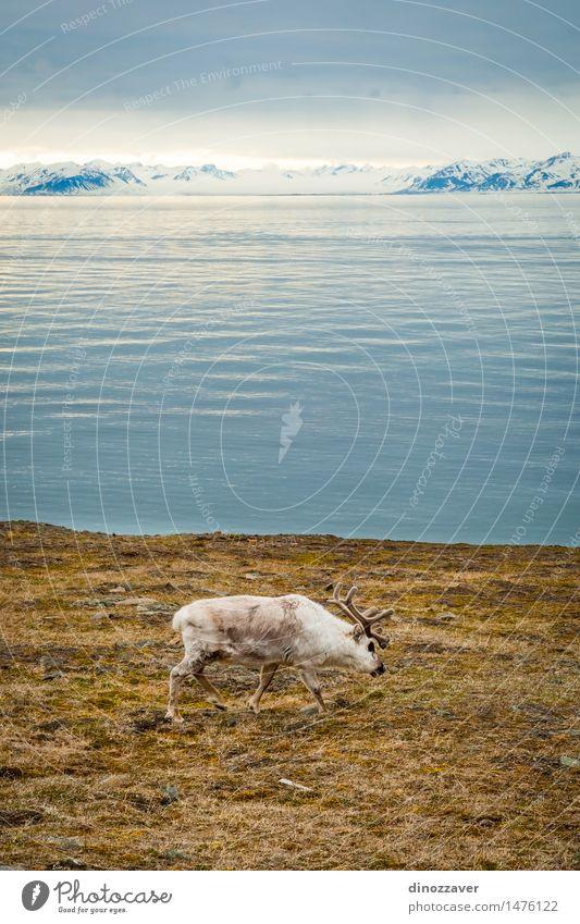 Rentier Essen Sommer Meer Schnee Berge u. Gebirge Mann Erwachsene Natur Landschaft Tier Gras Wald Pelzmantel nass natürlich wild braun weiß Arktis Spitzbergen
