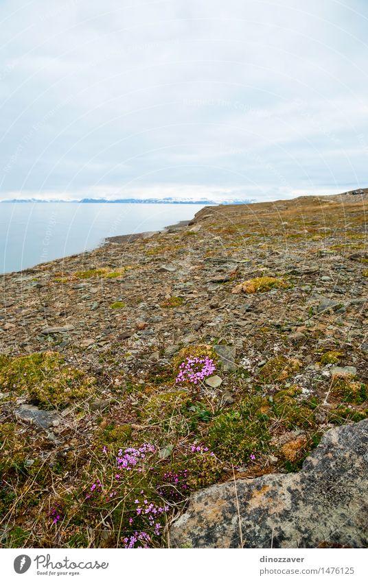 arktischen Tundra Ferien & Urlaub & Reisen Sommer Meer Schnee Berge u. Gebirge Umwelt Natur Landschaft Pflanze Klima Wetter Blume Gras Felsen Gletscher Fjord