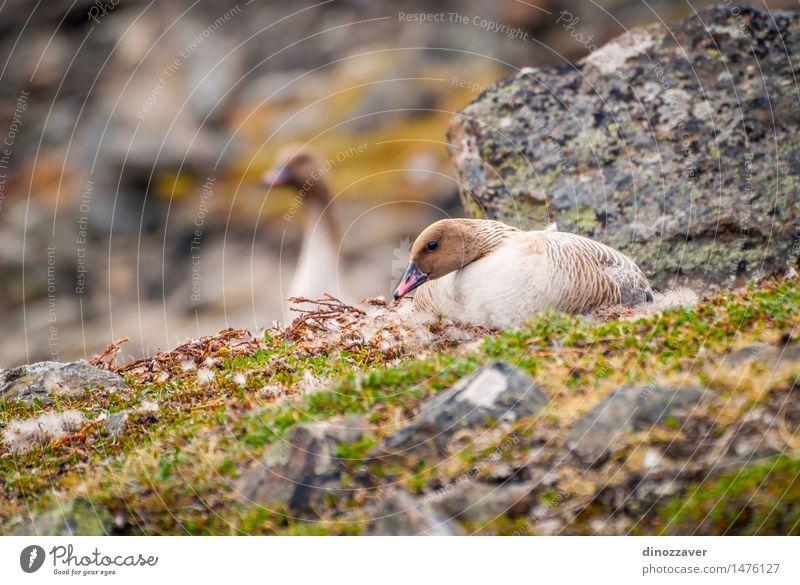 Reibe weiße Gans elegant Sommer Paar Umwelt Natur Landschaft Tier Mantel Vogel wild Reibe weißfrontierte Gans Hausgans Nestbau Arktis Spitzbergen Norwegen
