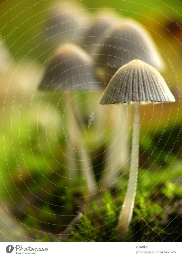Gesäter Tintling (Coprinus disseminatus) #1 Natur Umwelt Herbst klein Park mehrere Lebewesen Stengel Makroaufnahme Schirm Pilz Moos Anhäufung Waldboden Unschärfe Lamelle