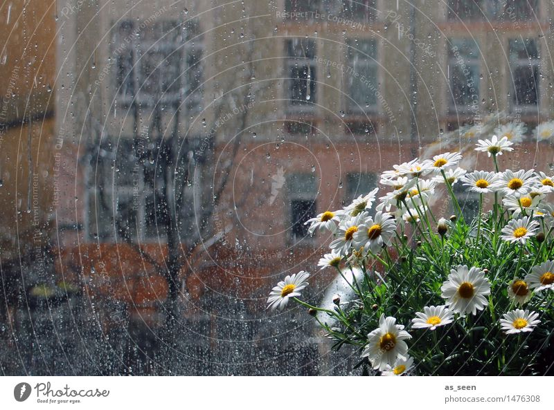 Am Fenster ruhig Wohnung Raum Pflanze Sonne Blume Margerite Kamille Blüte Topfpflanze Blumentopf Blühend ästhetisch hell gelb grün orange weiß Gefühle