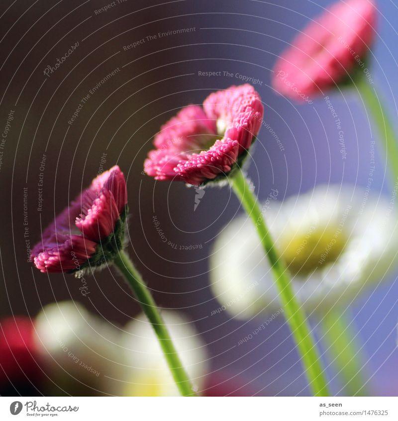 Der Sonne entgegen Glück Gesundheit Wellness Leben harmonisch Sinnesorgane Garten Umwelt Natur Pflanze Frühling Sommer Klima Blume Blüte Gänseblümchen Wiese