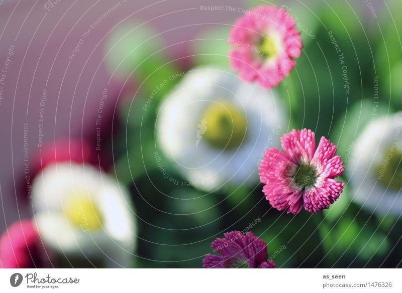 Gänseblümchen Freude Glück Wellness Leben harmonisch Duft Garten Umwelt Natur Pflanze Frühling Sommer Schönes Wetter Blume Blüte Wiese Blühend gelb grün rosa