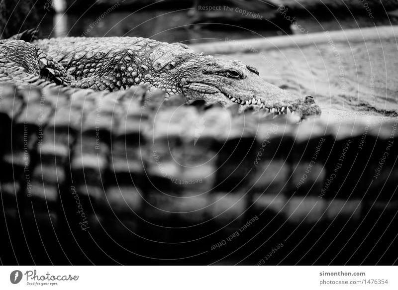 Krokodil Natur Tier Wildtier Schuppen Zoo 1 Tiergruppe Aggression bedrohlich gigantisch listig stark Angst Schwarzweißfoto Tierporträt