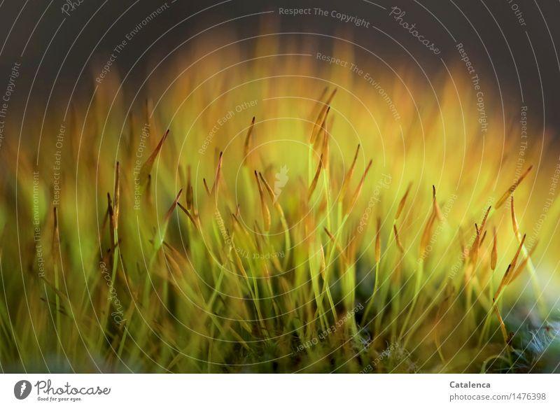 "Moos Umwelt Natur Pflanze Sommer Herbst Wald Felsen Moor Sumpf beobachten Wachstum stachelig mehrfarbig ""Zart,"" Filigran Moosfruchtkörper Farbfoto Außenaufnahme"