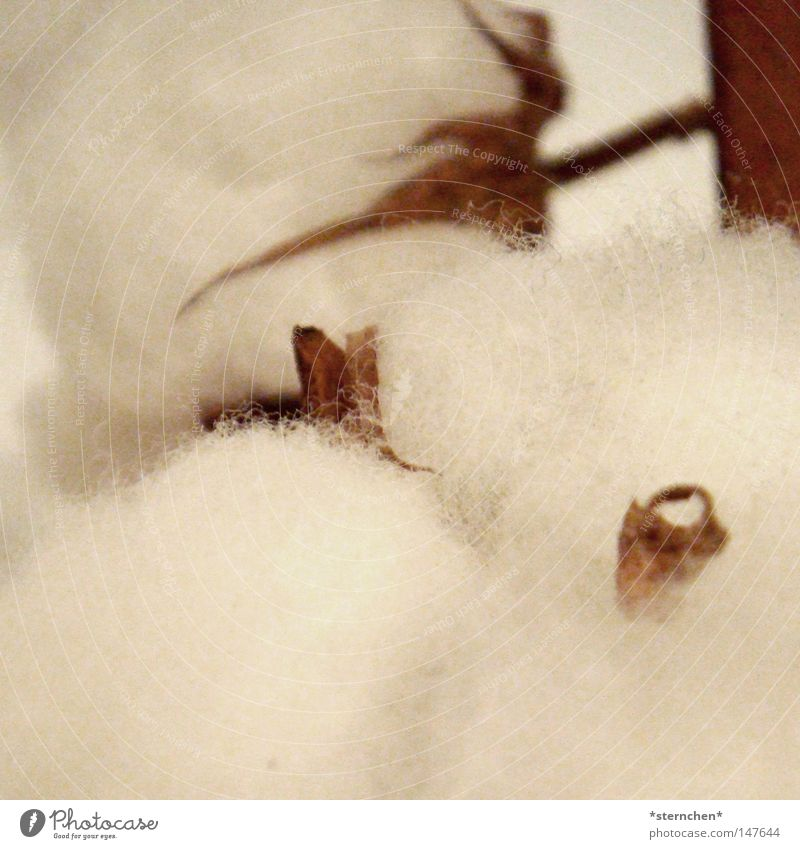 baumwolle Baumwolle Wolle Malvengewächse Cellulose Bekleidung Jeanshose Pullover T-Shirt Pflanze Leben Nutzpflanze kuschlig weich hell weiß braun Dürre Herbst