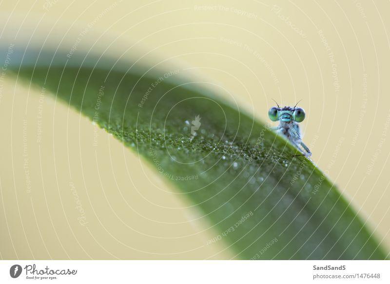 Blauschwanz-Damselfly Natur Tier Garten Park Wildtier Tiergesicht 1 hässlich schön einzigartig natürlich Neugier blau gelb grün Farbfoto mehrfarbig