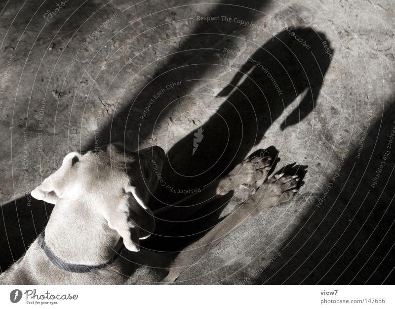 Schatten. ruhig Kopf Hund Ecke Körperhaltung Ohr Liege Fell Haustier Pfote Säugetier geduldig Tier Halsband Jagdhund